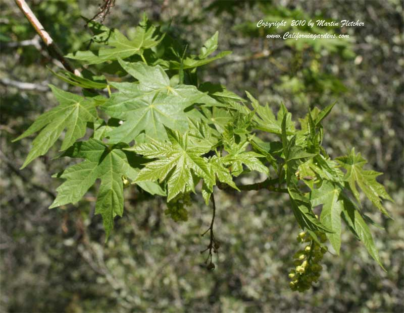 Acer macrophyllum, Bigleaf Maple