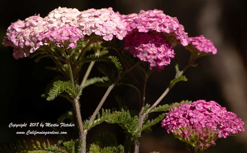 Achillea Apple Blossom, Apple Blossom Yarrow