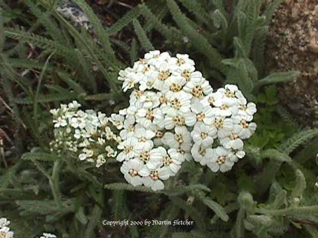 Achillea lanulosa