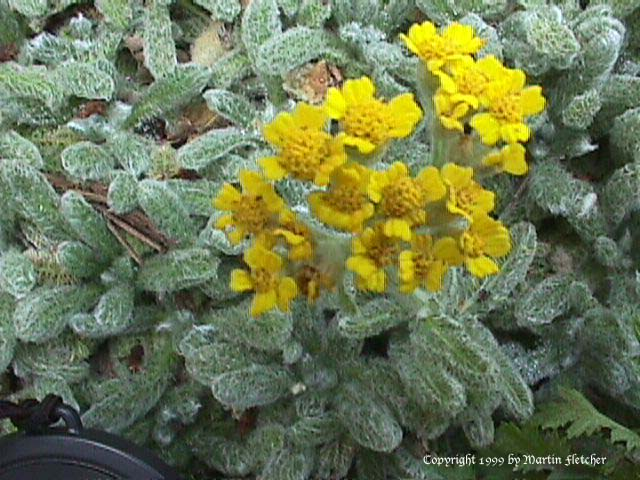 http://www.californiagardens.com/images/Achillea_tomentosa_c.jpg