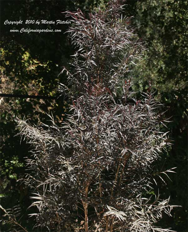 Agonis flexuosa Afterdark, After Dark Peppermint Tree