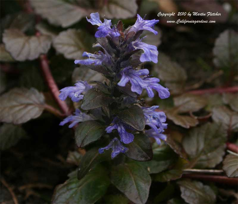 ajuga reptans chocolate chip  california gardens, Natural flower