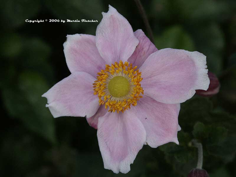 Japanese Anemone Alice, Semidouble Pink Windflower