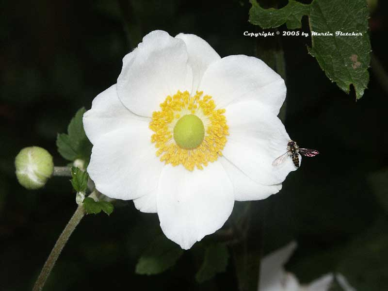 Anemone Honorine Jobert, Single White Windflower