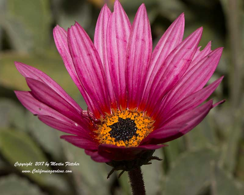 Arctotis acaulis Torch Purple, Torch Purple African Daisy