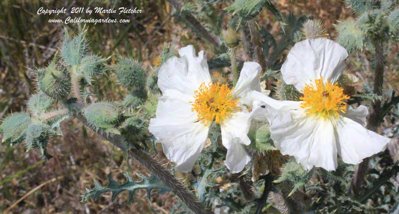 Argemone munita, Prickly Poppy