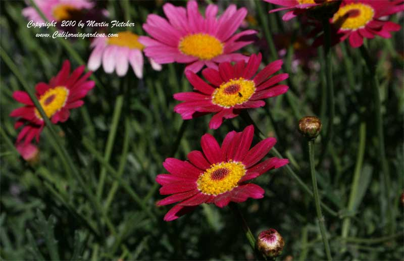 Argyranthemum Madeira Cherry Red, Madeira Cherry Red Marguerite
