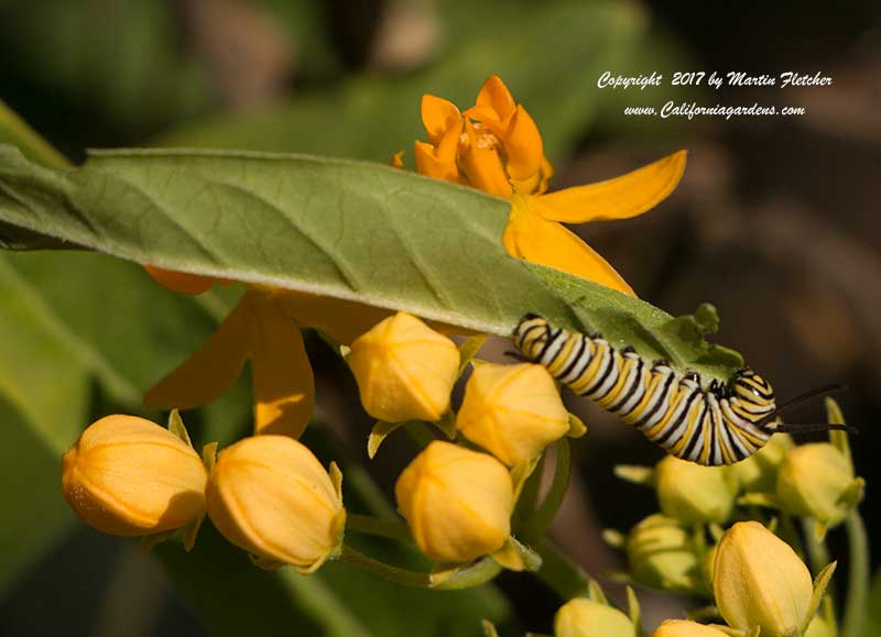 Asclepias curassavica Silky Gold with Monarch Caterpillar