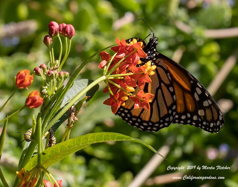 Asclepias curassavica with Monarch and Caterpillar, Tropical Milkweed, Bloodweed