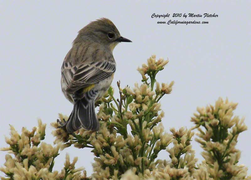Bacharis pilularis, Coyote Brush with Yellow Rumped Warbler