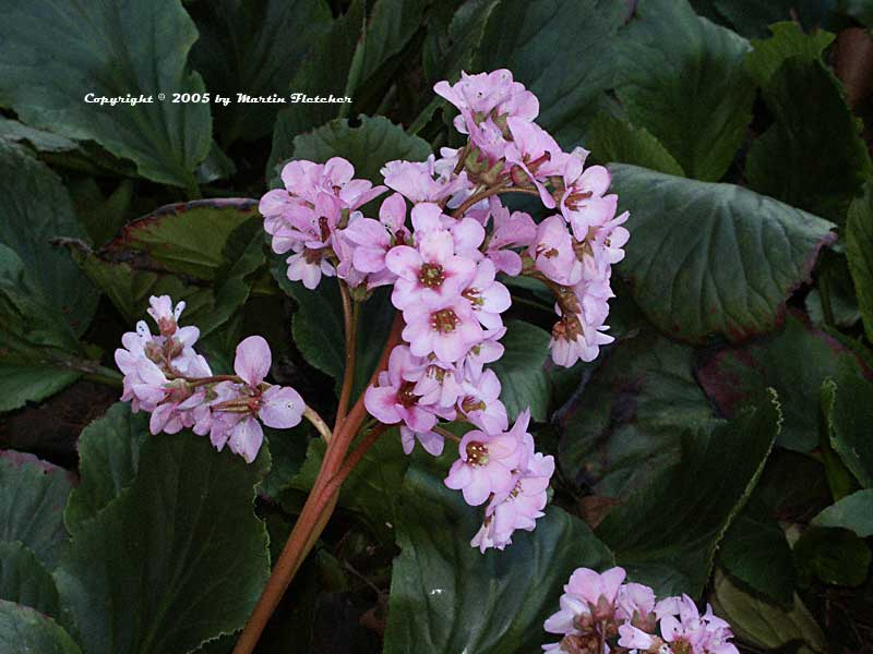 Bergenia crassifolia, Winter Blooming Bergenia