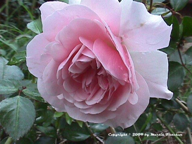 Image of the Bonica Rose