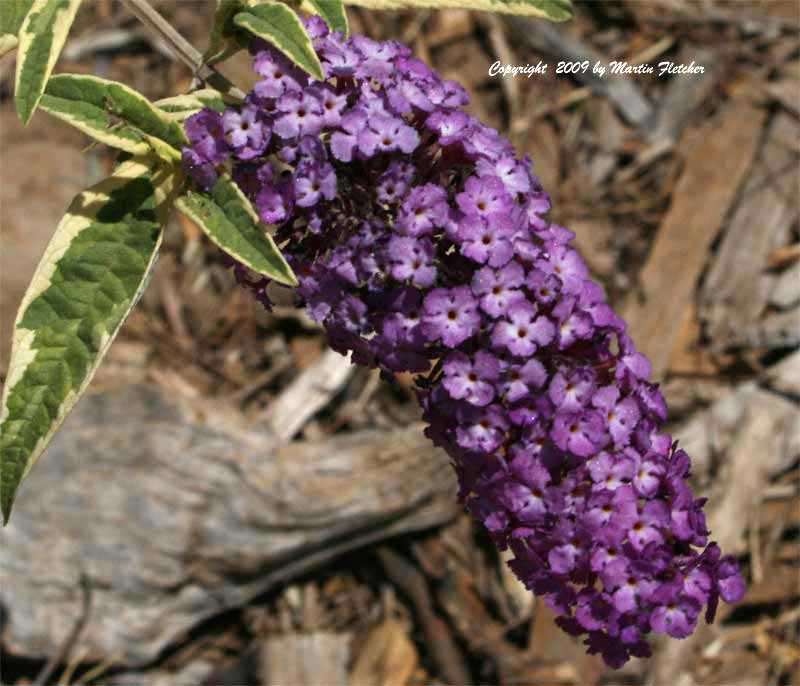 Buddleia Harlequin, Variegated Butterfly Bush