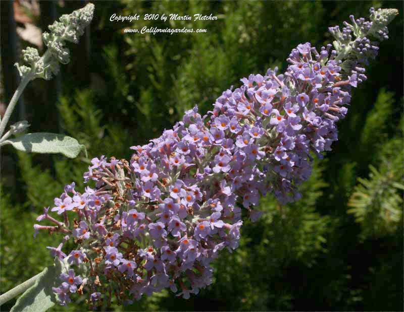 Buddleia Nanho Purple, Butterfly Bush
