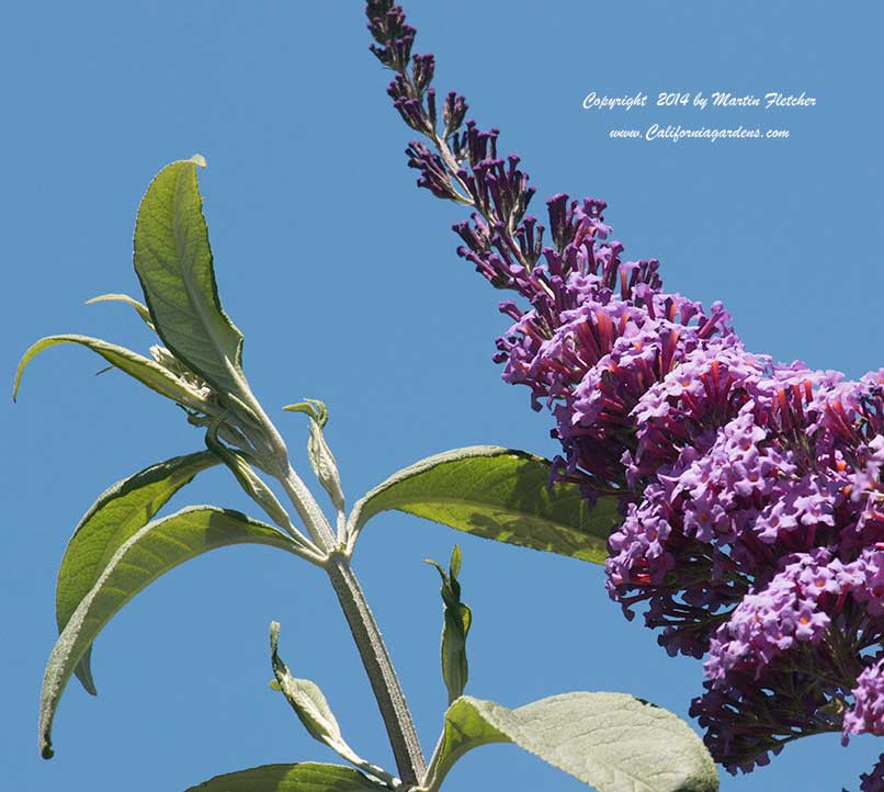 Buddleia Pink Delight, Pink Butterfly Bush
