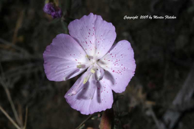 Clarkia bottae, Punch Bowl Godetia