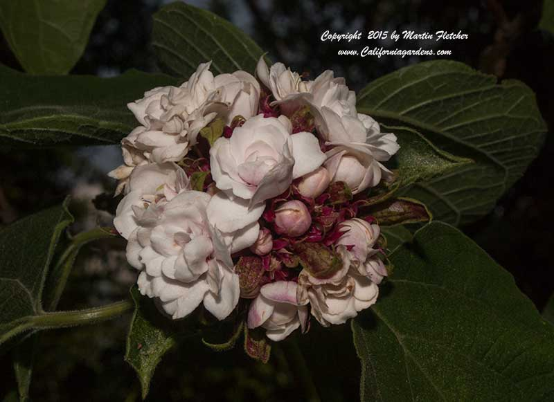 Clerodendrum philippinum   Cashmere Bouquet   California Gardens