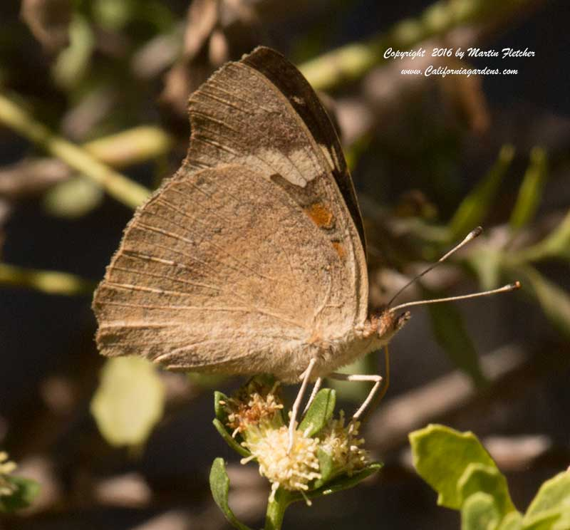 Bacharis pilularis, Coyote Brush with Common Buckeye
