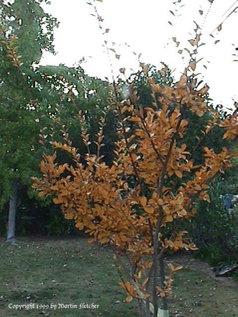 Crape Myrtle Fall Color