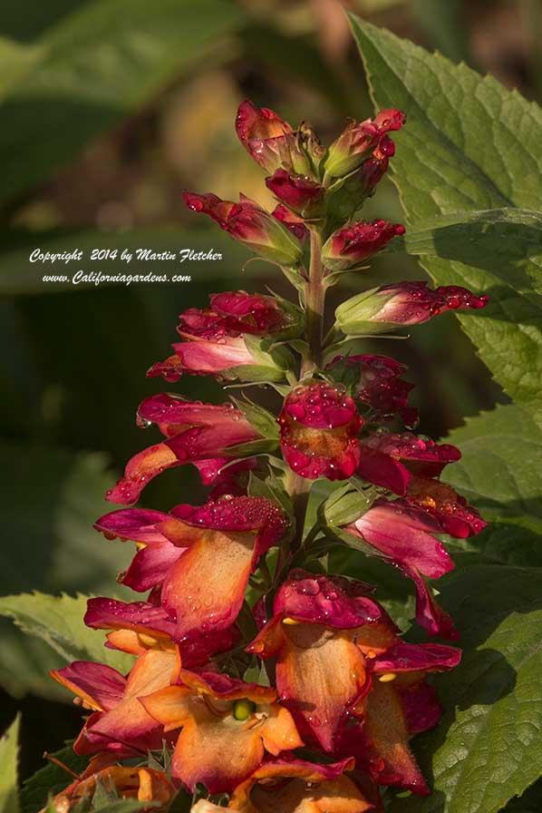 Perennial plants list california gardens perennial garden mightylinksfo