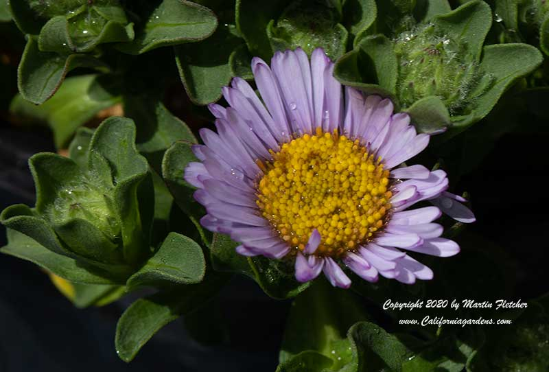 Erigeron glaucus Sea Breeze, Cape Sebastian Seaside Daisy
