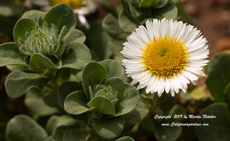 Erigeron White Lights, Seaside Daisy