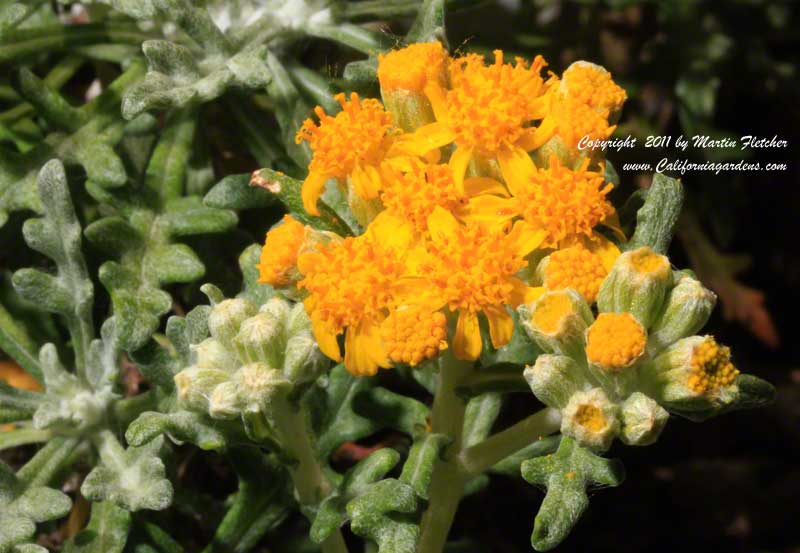 Eriophyllum staechadifolium, Seaside Golden Yarrow