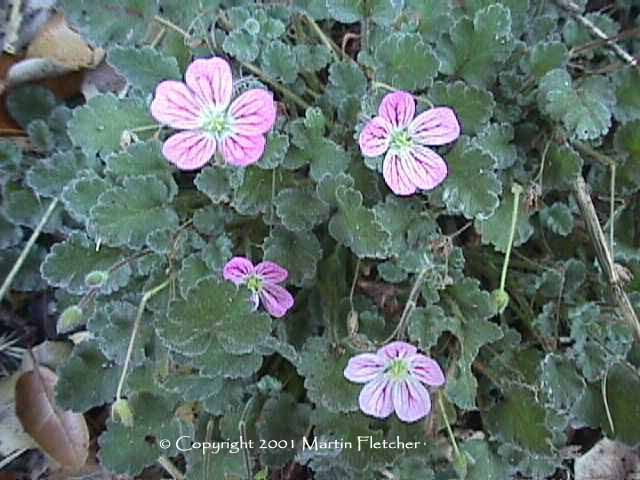 Erodium reichardii Bishop's Form, Pink Storksbill