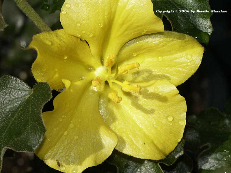 Fremontodendron californica California Glory, Fremontia