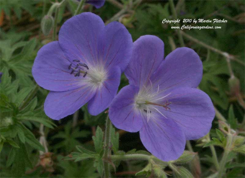 Geranium Johnson's Blue