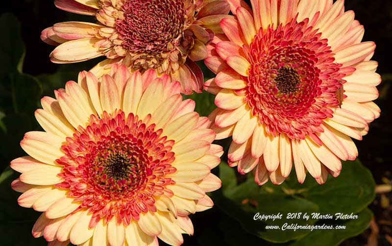 Gerbera Cartwheel Strawberry Twist, Gerber Daisy