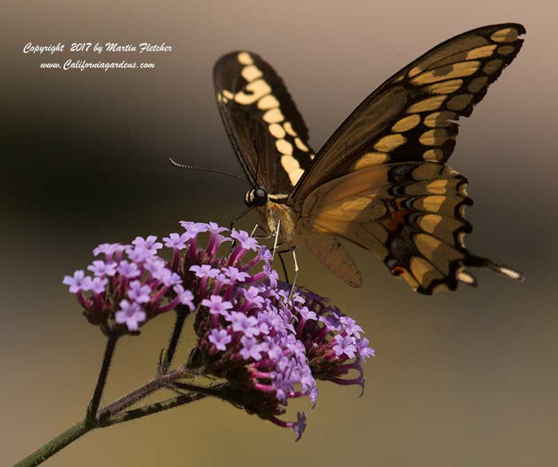 Giant Swallowtail feeding on Verbena