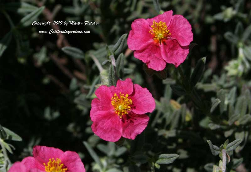 Helianthemum Rose Glory, Dark Pink Sunrose