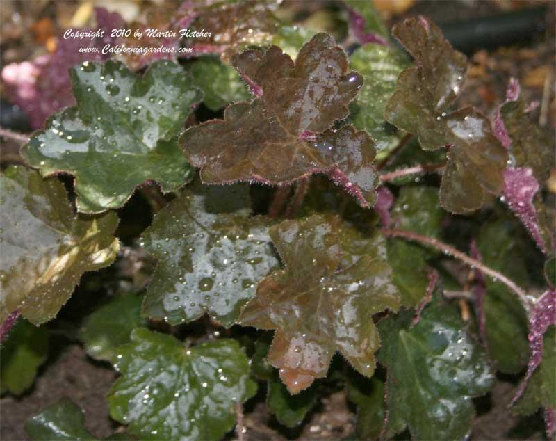 heuchera micrantha diversifolia palace purple crevice. Black Bedroom Furniture Sets. Home Design Ideas