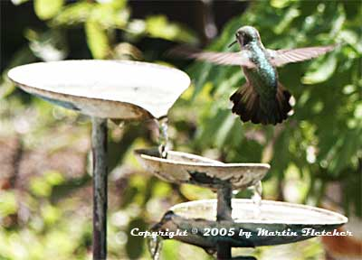 California Gardens - Attract Hummingbirds - Hummingbird Garden Design