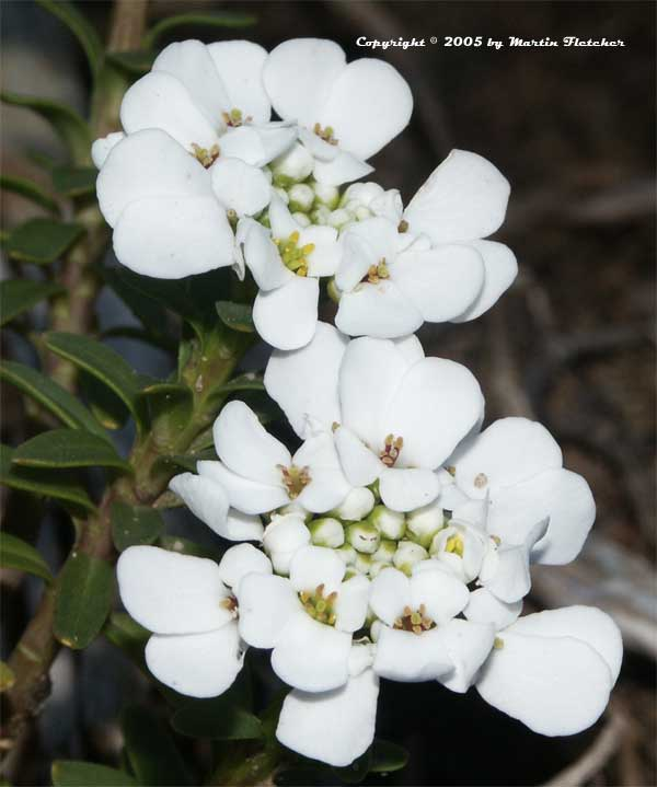 Candytuft, Iberis sempervirens