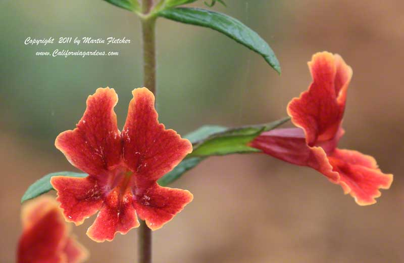 Mimulus Georgie Red, Georgie Red Monkey flower