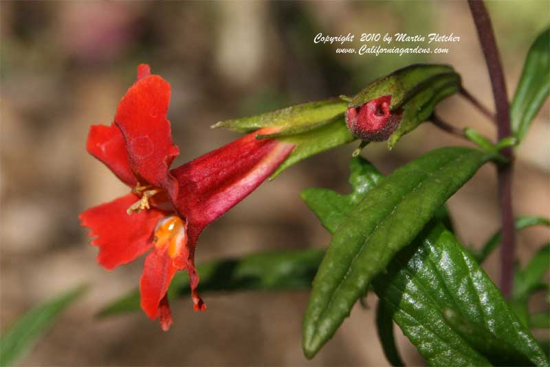 Mimulus puniceus, Red Bush Monkeyflower