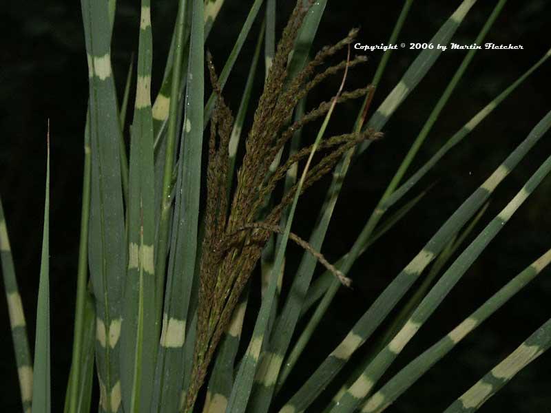 Miscanthus Zebrinus Zebra Grass Miscanthus Zebrinus Zebra