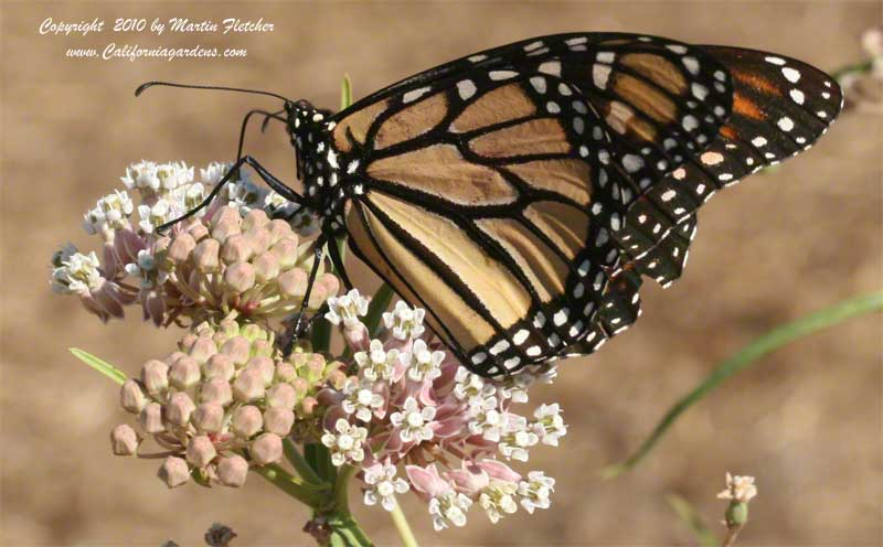 Adult Monarch Butterfly on Milkweed