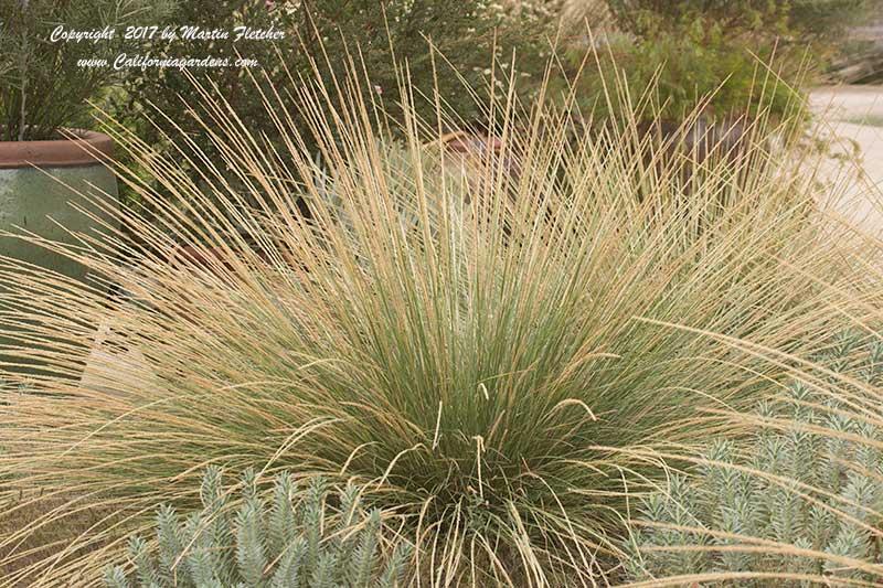 Muhlenbergia Dubia Pine Muhly Grass California Gardens