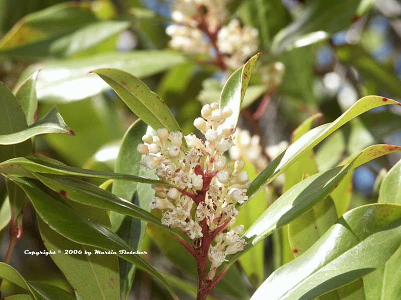 Myrica californica, Pacific Wax Myrtle