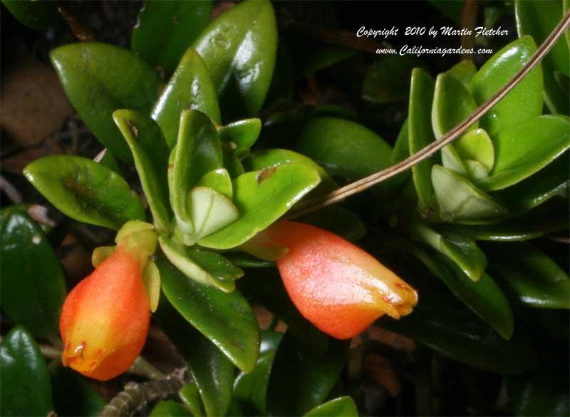 Goldfish plant pictures olanessa buzz for California fish planting