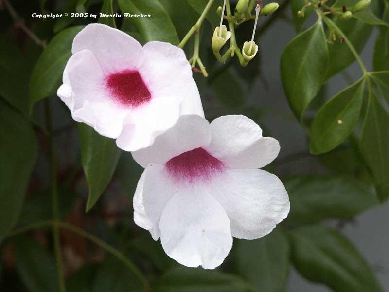Pandorea jasminoides bower vine california gardens pandorea jasminoides bower vine pink centered white flowers mightylinksfo