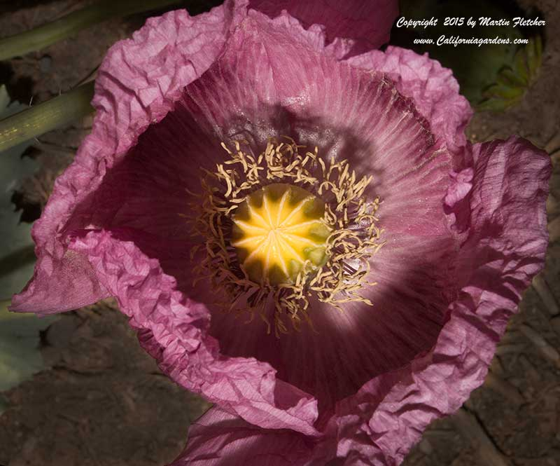 Papaver somniferum, Opium Poppy, Poppy Seeds
