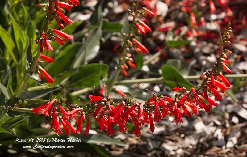 Penstemon eatonii, Firecracker Penstemon