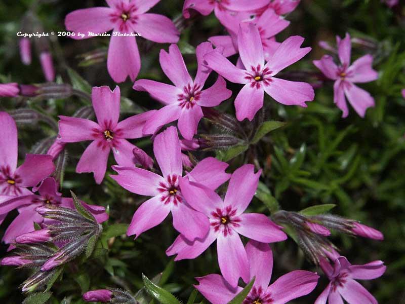phlox subulata moss pink california gardens. Black Bedroom Furniture Sets. Home Design Ideas