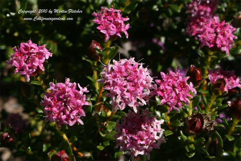 Pimelea ferruginea, Pink Rice Flower