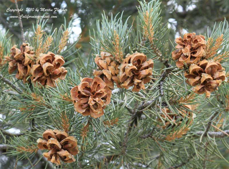 Pinus monophylla, Single Leaf Pinyon Pine