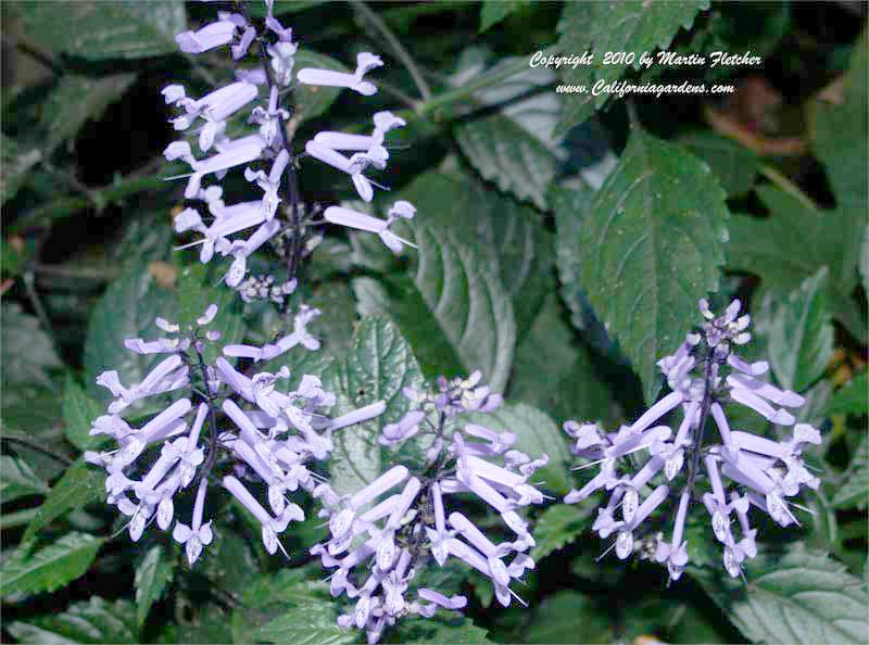 plectranthus mona lavender lavender spur flower. Black Bedroom Furniture Sets. Home Design Ideas